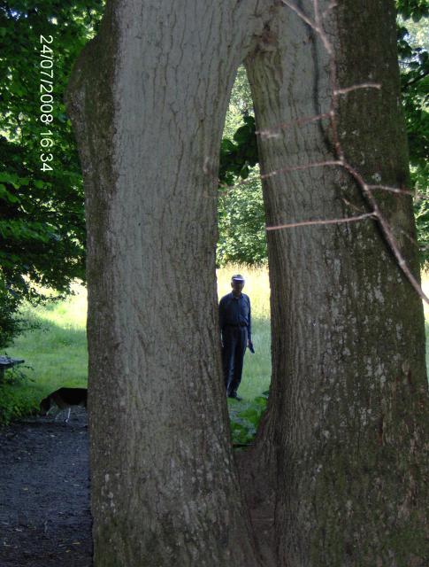 Hultræ i Holeskov