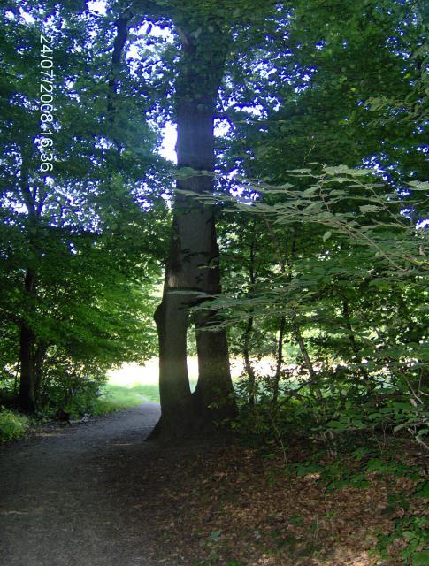 Hultræet i Holeskov