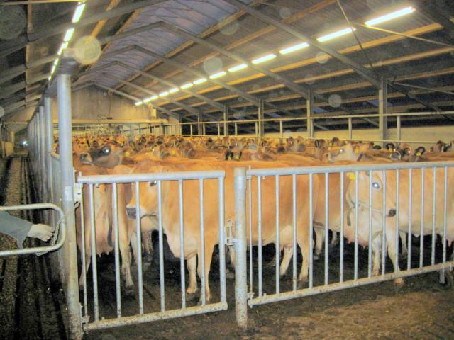 Køerne samlet før malkningen - Dongsgaard