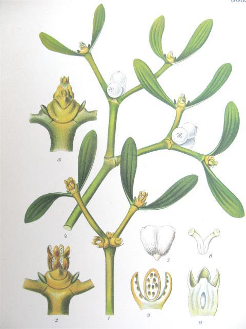 """Mistelten fra """"Bilder af Nordens Flora"""", 1905"""