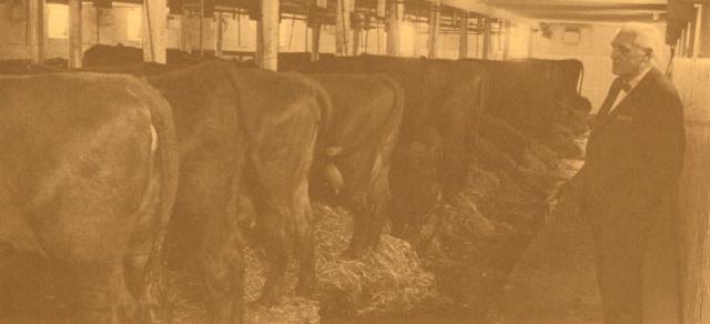 Niels Eriksen i stalden på Kørbitzdal få dage før hans køer blev solgt på auktion i 1973